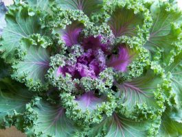 Ruffled Kale by Auther-Side