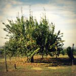 The pear tree by martaraff