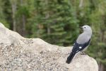 Clark's Nutcracker 2 by bowtiephotography