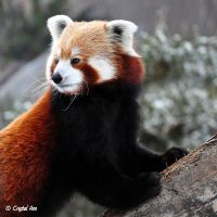 Red Panda 0948 by CrystalAnnPhotos