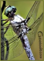 Dragonfly Macro by Gooiool