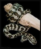 Jaguar Carpet Python by oOBrieOo