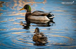 The Mallard and Hen by mjohanson