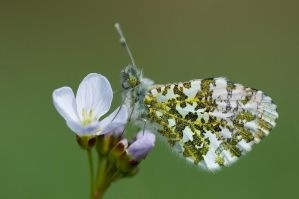 Orange tip by MetalLuilak