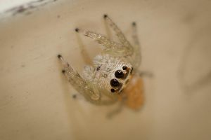 Jumpy Spider 3 by Colin-LOCP