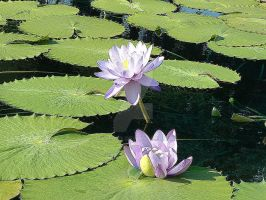 Water Lilies by Mayeaux