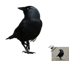 Cut-out stock PNG 89 - audacious jackdaw by Momotte2stocks