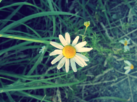 a daisy by Sandmeer