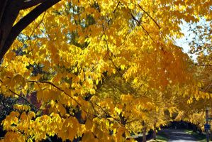 Yellow leaves in Richmond by xshadow259