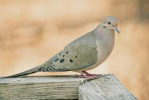Mourning Dove by FrostyMorningBliss
