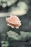The rose by FrancescaDelfino