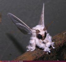 Venezuelan poodle moth by SolarGear079