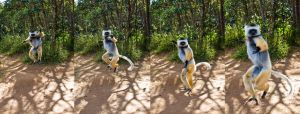 Full Dance of the Golden Sifaka by White-Voodoo