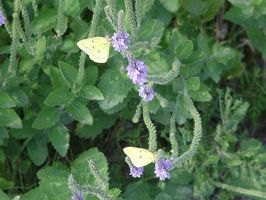 Twin Butterflies Staggered by Ranasp