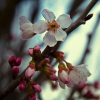 Cherry Blossom by Jez92