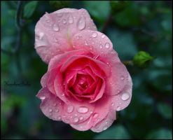 Pink rose by carolinbie