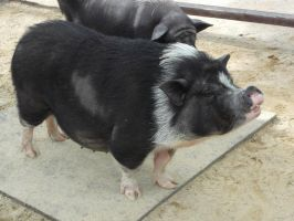 Pot Bellied Pig by Dandric101