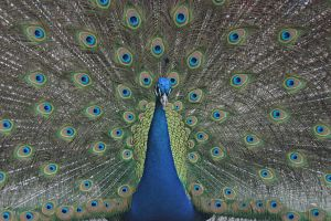 Peacock in display by dkbarto