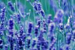 lavender. by this-is-the-life2905