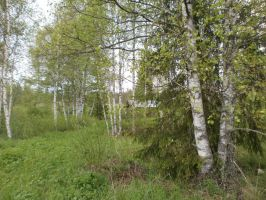 Birches and some spruces in June by vonderwall