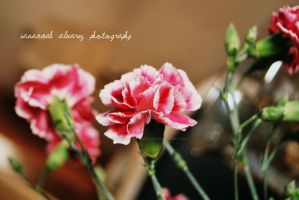 Pretty in pink Carnations by love-in-focus-Photo