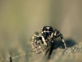 Zebra Jumping Spider - Male by TheFunnySpider