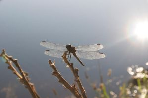 Dragon Fly 4 by frisbystock
