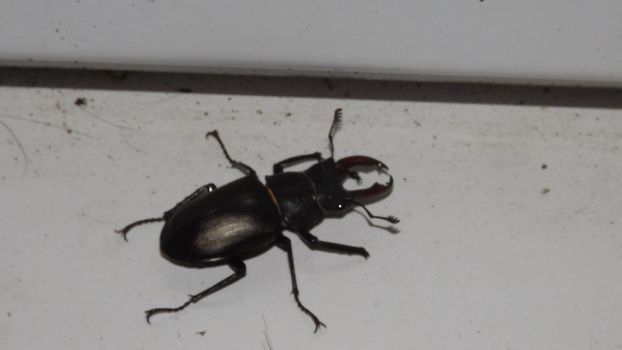 Stag Beetle in May by Dan-S-T