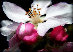 Apple Blossom by WhompingVillow