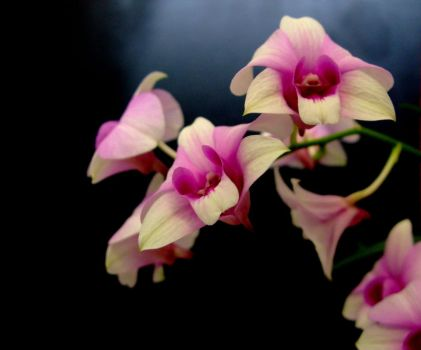 Orchids - School of Orchids :P by snowskin