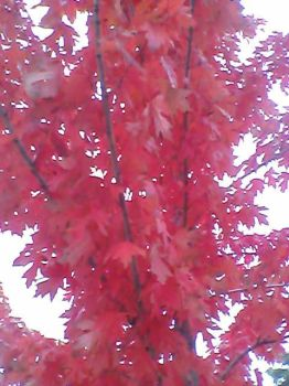 pretty pink fall leaves 2 by Cupcakequeenwis