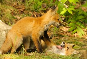 fox cubs by Daleyo