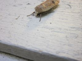 Moth 4 by AnnabellLee666