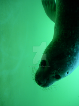 Seal III by ButterflyFish