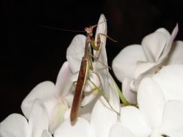 Praying Mantis over Orchid by code10100
