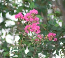 Crepe Myrtle by Nolamom3507