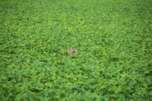 Hare in the field by brijome
