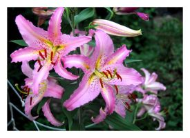 Pink Lily 2 by manwithashadow