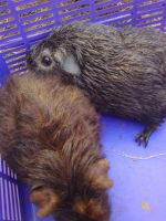 Beaverly (brown rex?) and possum (silver agouti) by Nintendo-Lover-Kat