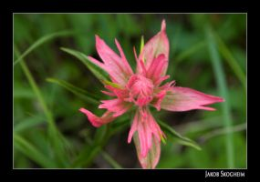 Red Flower by Norcalsnoe