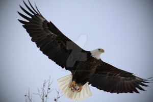 Eagle 3 by candy691977