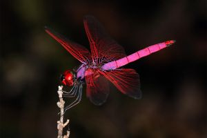 Crimson Dropwing by Jamie-MacArthur