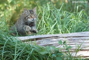 The cat jumps over the log by jaffa-tamarin