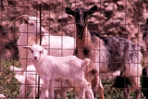 Baby Goat by spyed