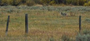 Coyote behind the wire by noelholland