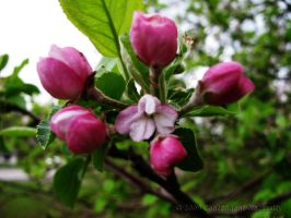 Pink Apple Blossoms by Contengent-Necessity