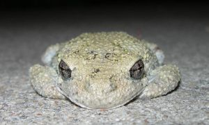 Grey Treefrog by Serendith