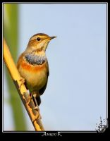 Bluethroat by AMROU-A