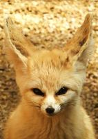 fennec by cheshirecat84