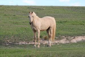 Palomino Stallion 2 by How-You-Remind-Me